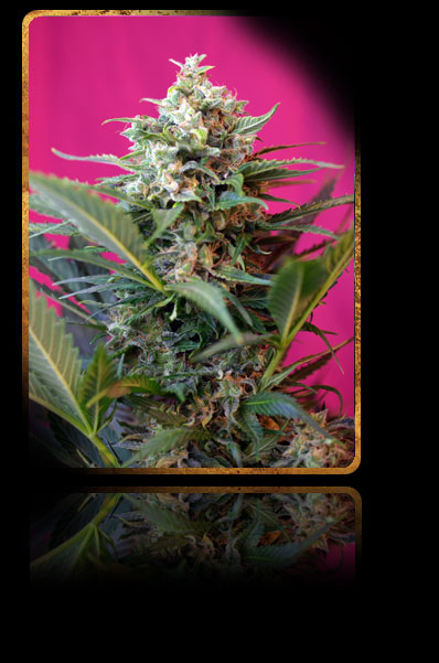 BIG DEVIL XL AUTO · graines de cannabis · AutoFem